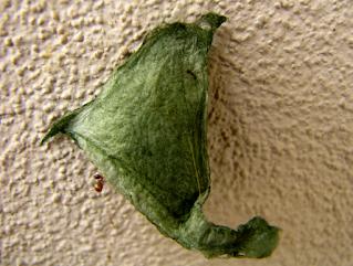 spider egg sac
