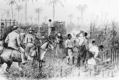 Work in the Sugar Cane Fields