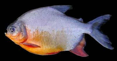 Ikan bawal merupakan jenis ikan air tawar yang berasal dari amerika selatan tepatnya Vene Lihat  Ikan Bawal Harian Terbukti Ampuh