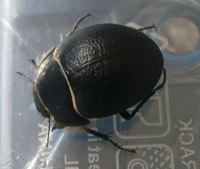 E.muricatus%25235.JPG