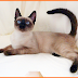 Kucing Siamase (Siam)