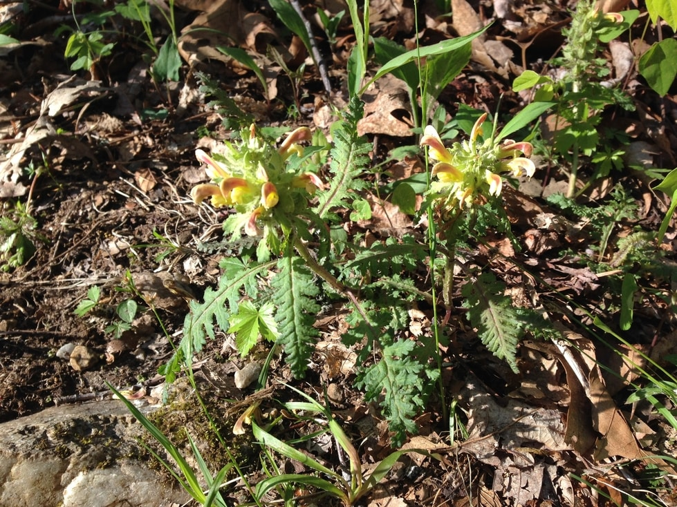 Lousewort Pedicularis canadensis