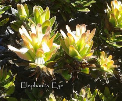 Mimetes pagoda flower
