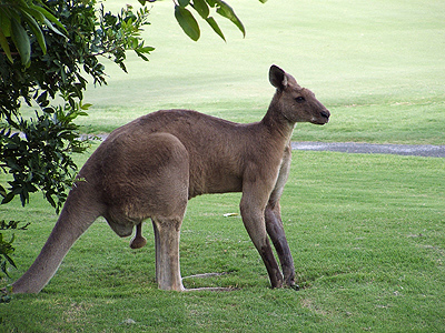 All About Animal Wildlife Kangaroo Images And Facts