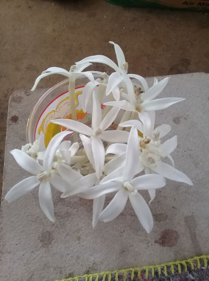 Bunga Kitolod di Gelas