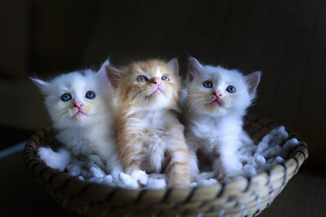 kucing warna putih dan oren