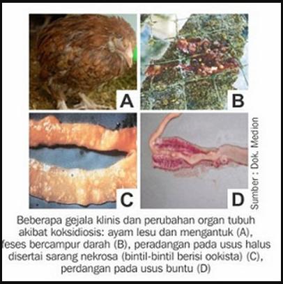 Cara Termudah Obati Penyakit Berak Darah Pada Ayam Kampung Bangkok Dan Broiler Kebumen How
