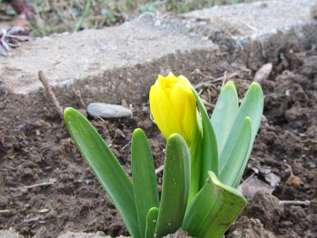 Apertura Bocciolo Narciso