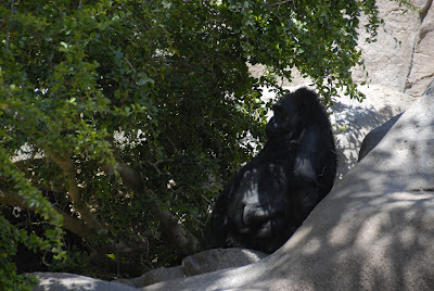 gorilla at the San Diego Zoo