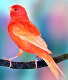 cara merawat burung, kenari gacor panjang, lama,
