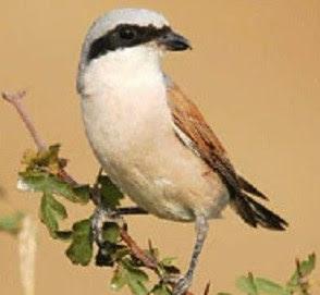 Cara Lengkap Dan Akurat Mengatasi Burung Cendet Yang Sering Mematuk Ekornya Sendiri ( Ciak )