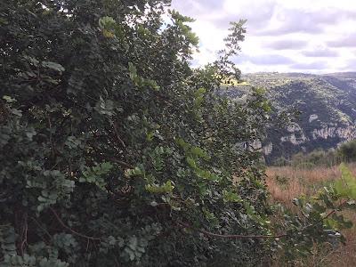 Ceratonia siliqua - carob tree.
