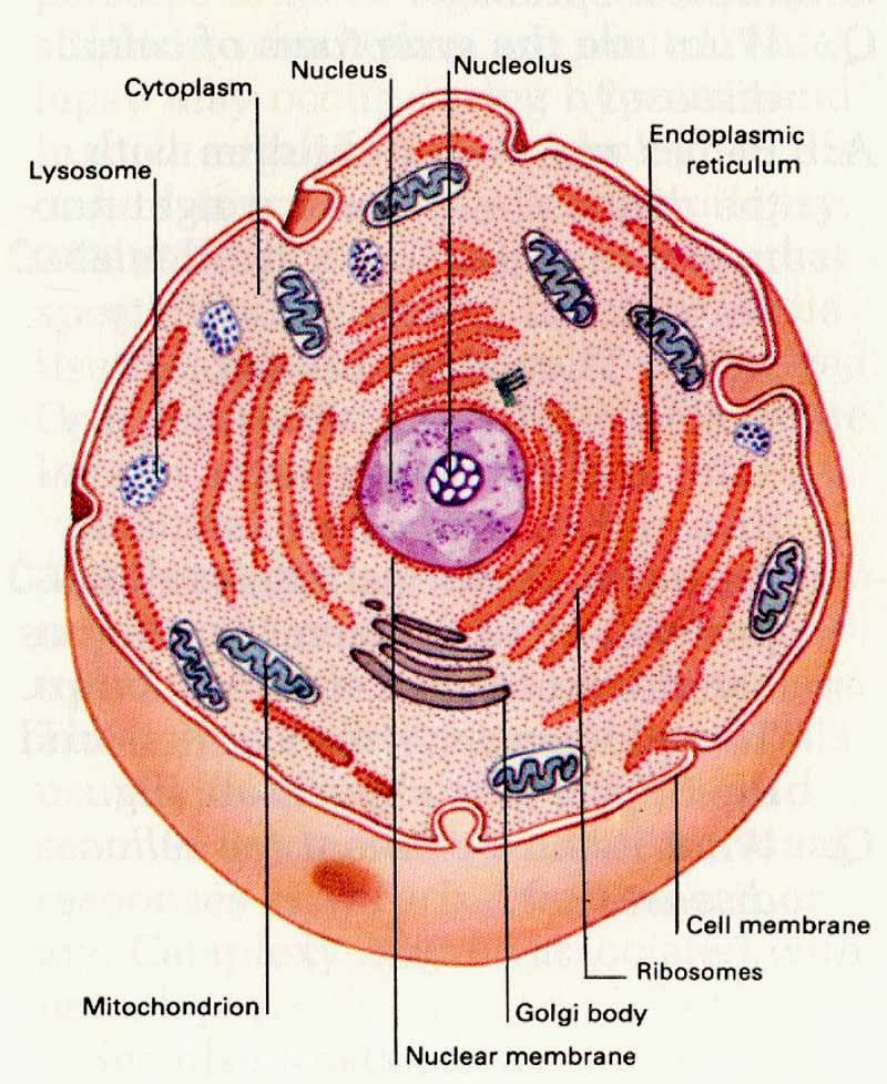 Cytoplasm Definition And Function