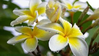 struktur bunga sepatu,struktur bunga melati,struktur bunga kamboja dan fungsinya,struktur bunga anggrek,struktur bunga matahari,struktur bunga mawar,klasifikasi bunga kamboja,bagian bunga kamboja,