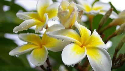 Klasifikasi dan Struktur Bunga Kamboja