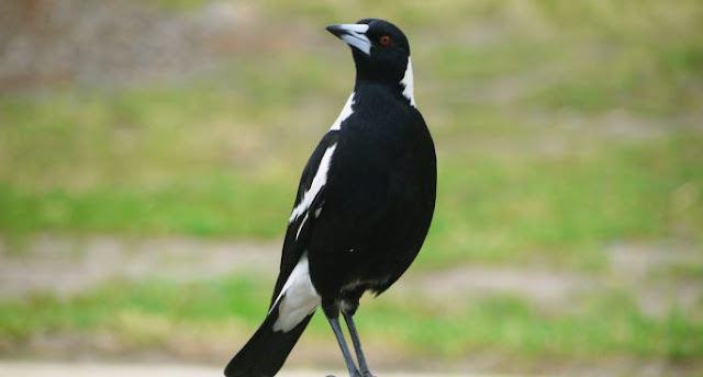 magpie,birds,bird,magpies,magpie bird,magpie (animal),bird (organism classification),magpie attack,low poly bird,funny bird,birds chirping,animals,funny magpie bird,magpie stone bird,magpie bird sounds,best birds trap bird traps,bird trap for magpies,magpies birds,funny,wildlife,cute,magpie laughing,bird trap,thieving magpie,the best bird traps,bird laughing,traditional bird traps,bird trap homemade in action,bird,magpie,birds,magpies,magpie (animal),interesting facts about magpies,bird (organism classification),australian magpie,magpie robin bird facts sing,wildlife,bird trap,bird song,bird watching,birds attack humans,australian birds,deadliest birds,meanest birds,where do magpies live,animals,nature,magpie bird call,magpie stone bird,magpie facts,australian magpie facts,robin bird facts,funny,animal,australian,cute,singing,australia,magpie,magpie attack,magpies,attack,magpie (animal),bird attack,birds,attacked,bird,animals attack,australian magpie (organism classification),bird attacks,magpie cycling swooping pecking attack season helmet cable ties bike,puketapu magpie attack,magpies attack,magpies attack and kill,magpie attacks cyclist,attacked by magpie,magpie attacks,magpie attacks and kills,nature,swoop,cat,wildlife,swooping,funny,magpie kills