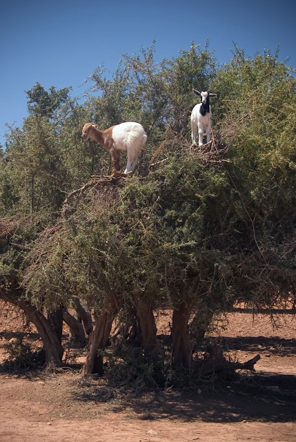 Goats climb argan trees to eat their fruit and leaves