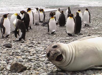 Foto de foca sonriendo con Pingüinos