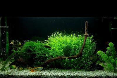 akwarium roślinne