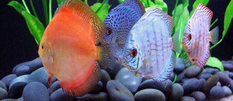 Langkah-Langkah Budidaya Ikan Discus untuk Usaha dan Binis Ikan Hias