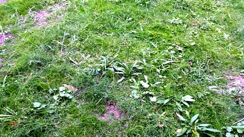 Carpet weeds on lawn