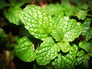 eat peppermint to increase memory power