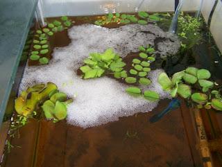 Telur Ikan Cupang di Sarang Busa