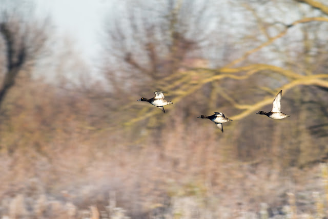 Tufted Duck in Flight