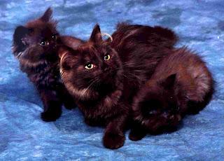 gambar kucing Tiffany
