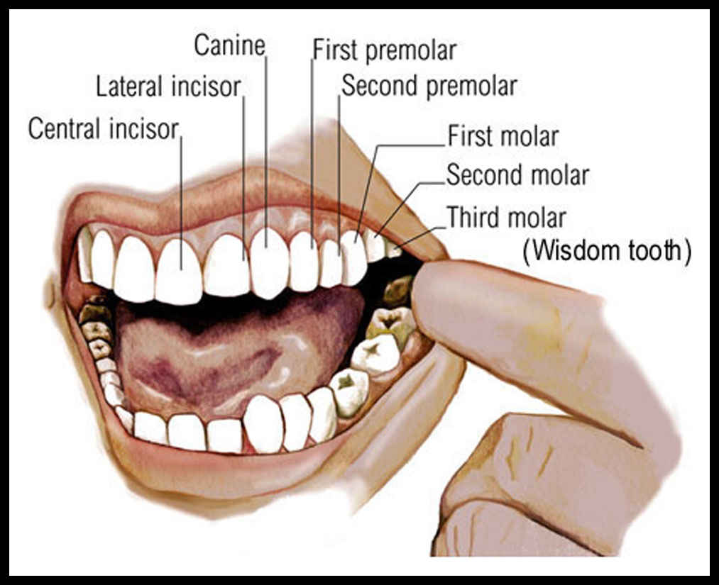 mouth teeth diagram with label coordstudenti : teeth diagram - findchart.co