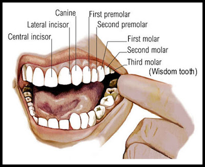 Human Tooth Diagram with Label