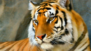 letest hd wallpaper tiger