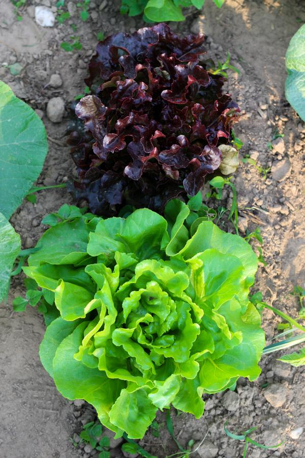 Ackermomente, Salat, Fleurcoquet