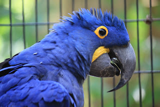 hyacinth macaw,hyacinth macaw facts