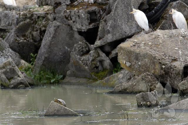 Espagne-Extremadure-Saucedilla-herons-tortue-emyde-lepreuse