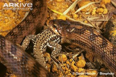 Snake eat Lizard