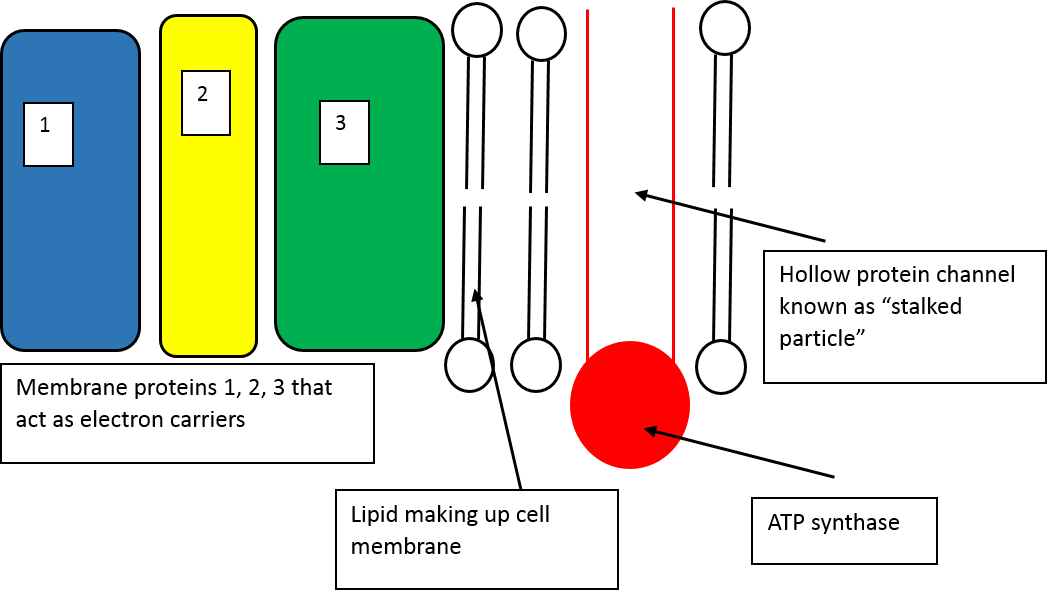 Teaching the electron transport chain activities practical this is one of the diagrams in a lesson about the electron transport chain for a level biology ccuart Images