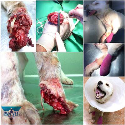 Parcijalna amputacija i rekonstrukcija teške povrede šape psa
