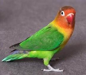 Mengenal Dekat Jenis Dari Burung Lovebird Fiscery Paling Akurat