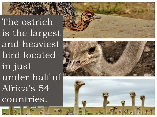 The ostrich is the largest and heaviest bird located in just under half of Africa's 54 countries.