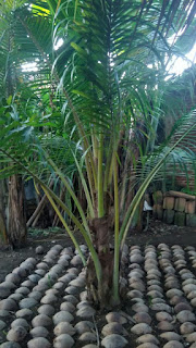 pembibitan kelapa genjah entok