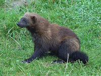 American wolverine - A federal court ruled Monday that FWS violated the Endangered Species Act when it declined to protect the wolverine. (Image Credit: Wikipedia) Click to Enlarge.