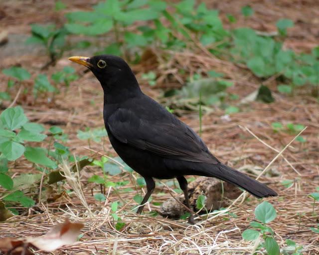 Blackbird in Villa Maria, Via Calzabigi, Livorno