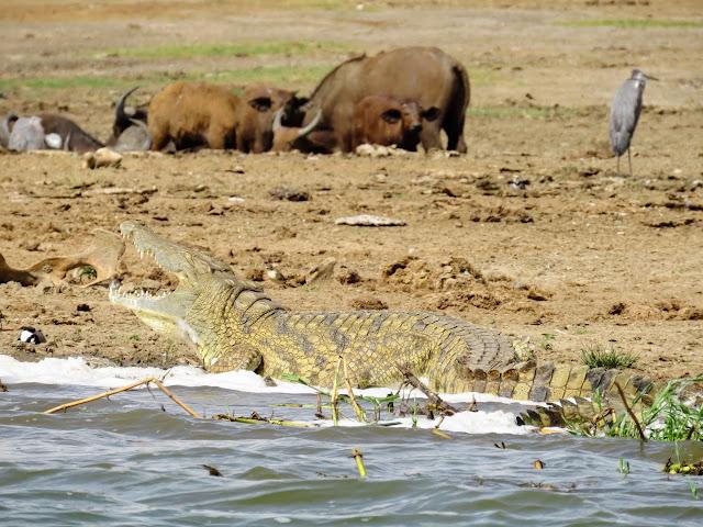 Crocodile on the Kazinga Channel in Uganda