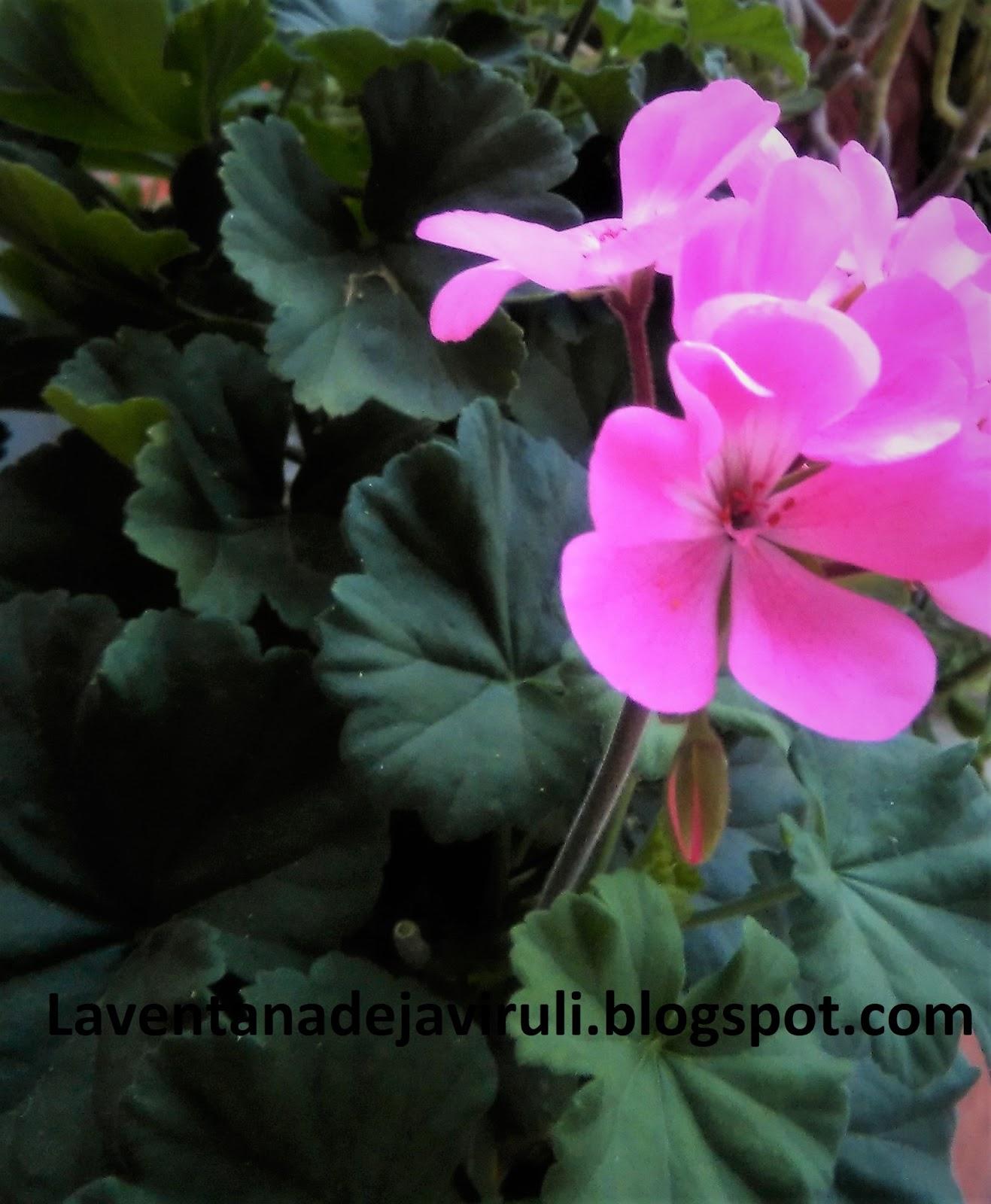 En Jardinería La Especie De Pelargonium Más Utilizada Es Comúnmente Llamado  Geranio De Jardín, Pelargonium X Hortorum ( L. H. Bailey) O Pelargonium  Zonale.