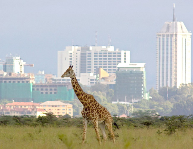Xvlor Nairobi National Park is protected wildlife among the skyscrapers