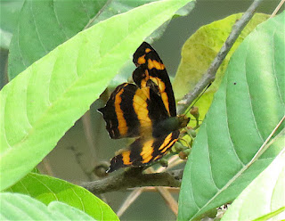 Symbrenthia lilaea khasiana, Common Jester