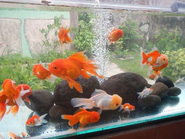 Budidaya Ikan Mas Koki Mutiara Di Kolam Terpal Tanpa Oksigen