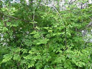 Clavalier d'Amérique - Clavalier à feuilles de frêne - Zanthoxylum americanum