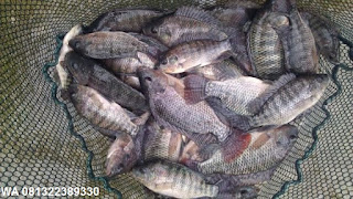 Umpan Serbuk Ikan Nila Paling Jitu